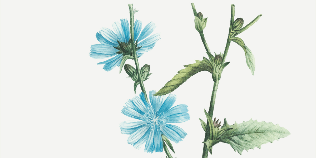 Chicory: Know the Benefits and Potential Side Effects